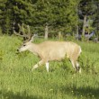 Mule Deer buck - Stock Photo
