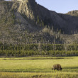 Iconic bison in Yellowstone — Stock Photo