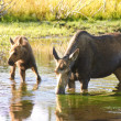 Cow moose feeding in a pond — Stock Photo