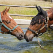 Pair of saddlbred horses — ストック写真