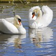 Courting Swans — Stock Photo #11114886