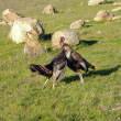 Stock Photo: Male turkeys fighting