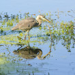 Great blue heron stalking — Stock Photo #11115027
