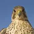 Closeup of falcon — Stock Photo