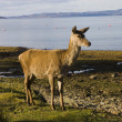 Red deer hind on the shore of Lochranza - Stock Photo