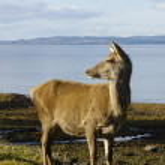 Red deer doe on shoreline — Stock Photo #11115080