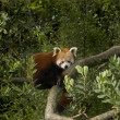 Red Panda (Ailurus fulgens) — Stock Photo