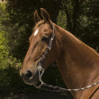 Saddlebred horse - Stok fotoraf