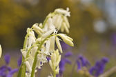 White bluebells — Stockfoto