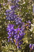 Sky Lupine — Stock Photo