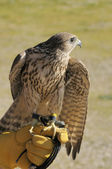 Falcon crossbred — Stock Photo