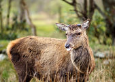 Red Deer Stag sticking tongue out — Stock Photo