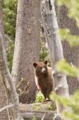 American Black bear in Yosemite national park — Stock Photo