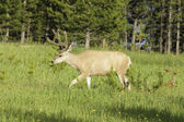 Mule Deer buck — Stock Photo