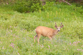 Mule deer tiptoeing through the wildflowers — Stock Photo