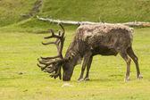 Caribou mâle d'alimentation — Photo