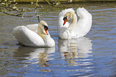 Courting Swans — Stock Photo