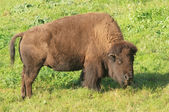 Bison feeding — Stock Photo