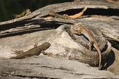 Male Western fence lizard displaying his blue under belly — Stock Photo