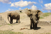 Elephants on the way to a water hole — Stock Photo