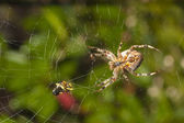 Spider with meal caught in web — Stock Photo