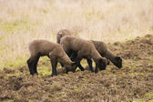 Group of lambs — Stock Photo
