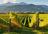 Vineyard in Wairua valley — Stock Photo