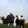 Dutch  Cows — Stock Photo