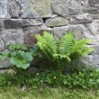 Bracken Against an Old Wall — Stock Photo