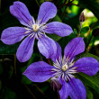 A climbing vine of purple clematis flowers — Stockfoto
