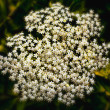 Elderberry Flower — Stock Photo