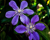 A climbing vine of purple clematis flowers — Stock Photo