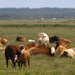 Cows on green meadow — Stockfoto