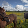 Horses on a Danish field — Stockfoto
