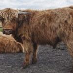 Juvenile Scottish Highland Cattles — Stock Photo
