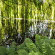Lake with weeping willows — Stock Photo #12089084