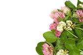 Clover flowers — Stock Photo