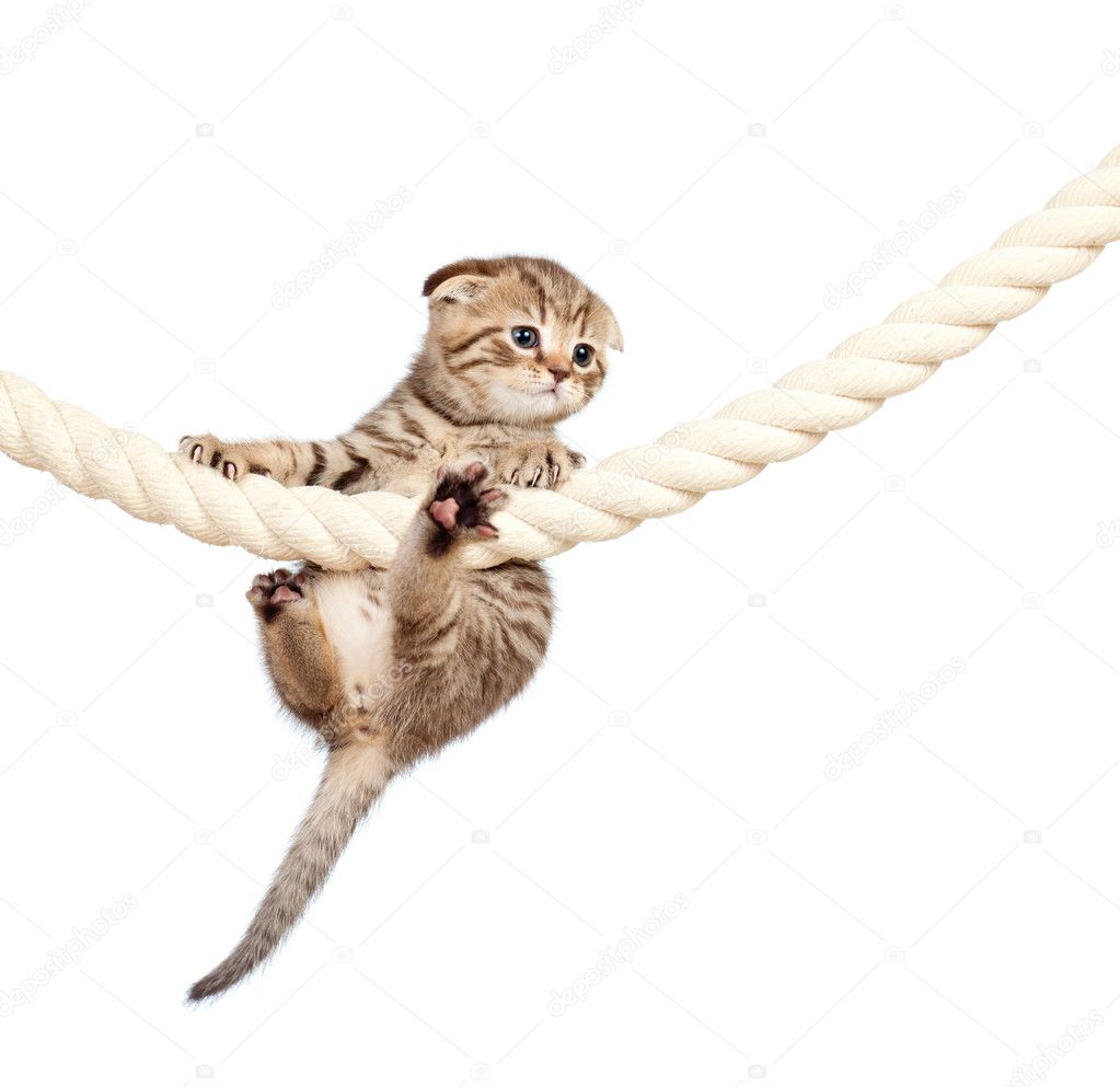 Scottish fold kitten climbing on rope isolated on  white background — Stock Photo #10740667