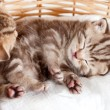 Funny sleeping baby cat kitten in wicker basket — Stock Photo