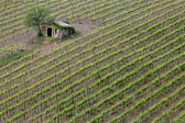 在托斯卡纳的葡萄园 — 图库照片