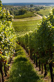 Wine route in Alsace — Stock Photo