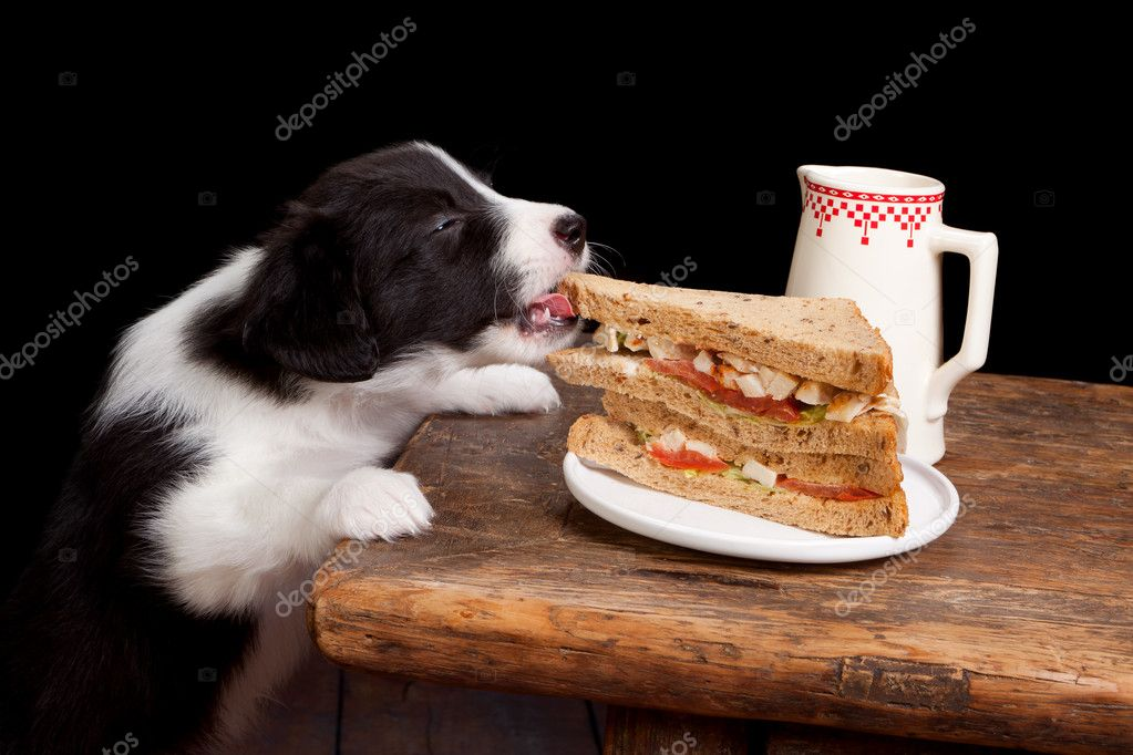 Newborn 5 weeks old border collie puppy steeling a sandwich — Stock Photo #11369977
