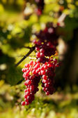 Red grapes on grapevine — Stock Photo