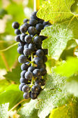 Grapes on a vine 10 — Stock Photo