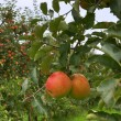 Stock Photo: Apple trees