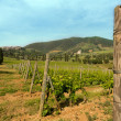 Vines in Tuscany — Stock Photo