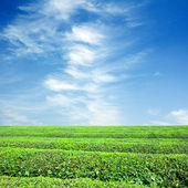 Large areas of tea plantation — Stock Photo