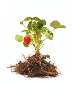 Strawberry bush — Stock Photo