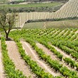 Vineyard at summer, La Rioja (Spain) — Stockfoto
