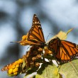 Monarch Butterfly Biosphere Reserve, Michoacan,  Mexico - Stock Photo